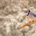 Science Outreach – Athabasca: 2018 Christmas Bird Count