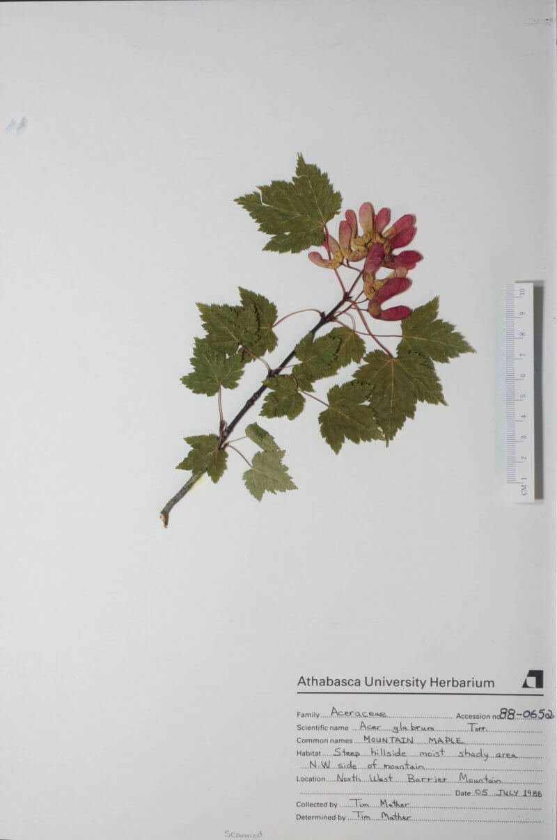 A specimen of Acer glabrum, commonly known as a Mountain Maple, from Athabasca University's T.S. Bakshi Herbarium.